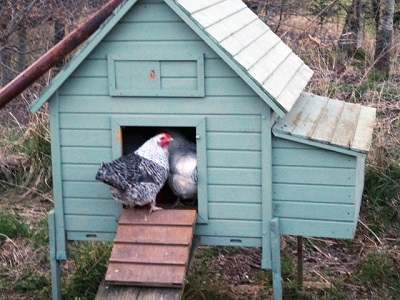 Poule maison
