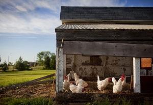 Poulailler poules